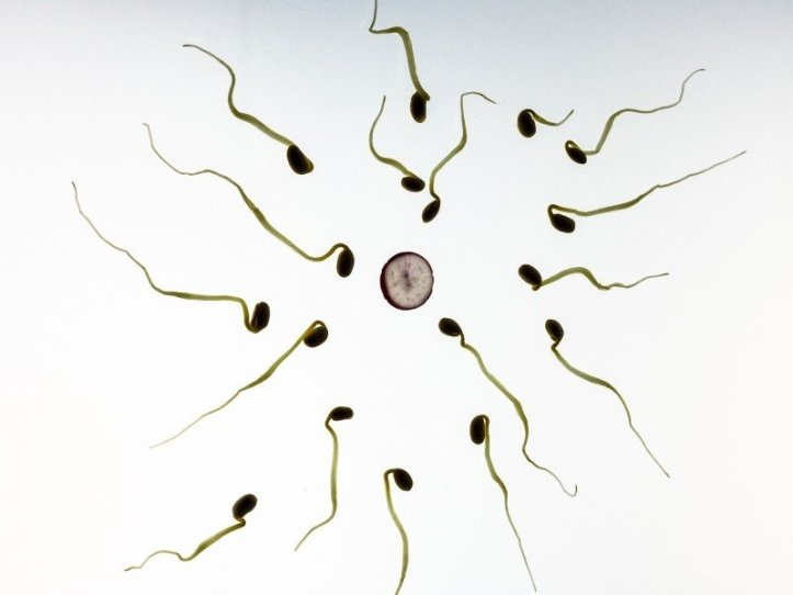 sperm-fertilization-pregnancy-development-live-art